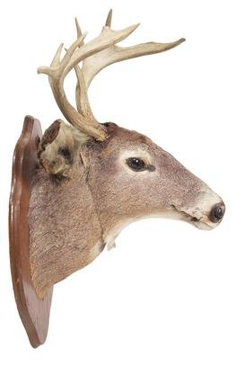 A beginners guide to deer taxidermy simple tutorial step by step deer taxidermy solutioingenieria Choice Image